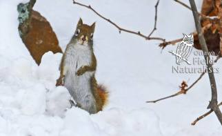 Red Squirrel, By - kim Schonning